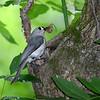 Tufted-titmouse-NestingHole-WCP-5-23-17-SJS-007