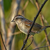 SwampSparrow-EmeraldaMarsh-11-7-19-SJS-001