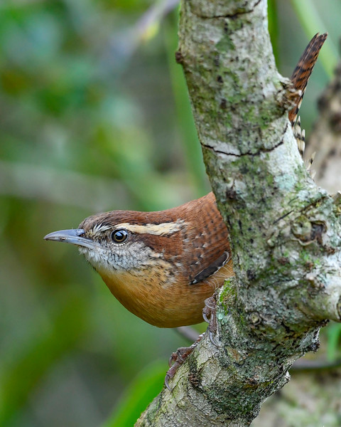 CarolinaWren-PineMeadows-11-14-19-SJS-001