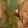 SavannahSparrow-SweetwaterWetlands-3-11-20-SJS-001