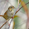 SwampSparrow-EmeraldaMarsh-10-30-19-SJS-002