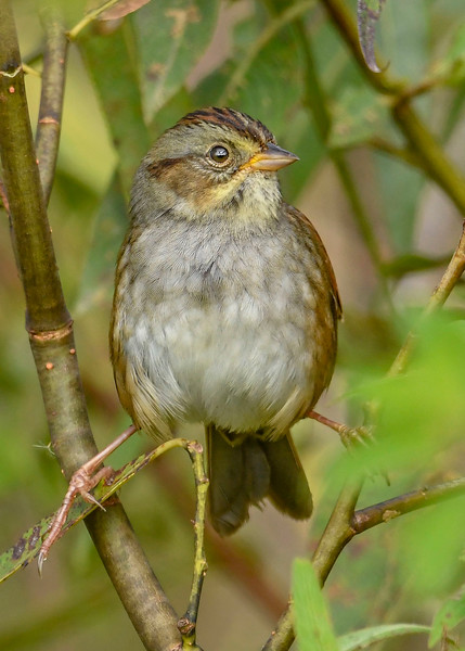 SwampSparrow-EmeraldaMarsh-11-1-19-SJS-001
