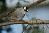 White-crownedSparrow-001