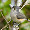 TuftedTitmouse-EmeraldaMarsh 10-22-19-SJS-001