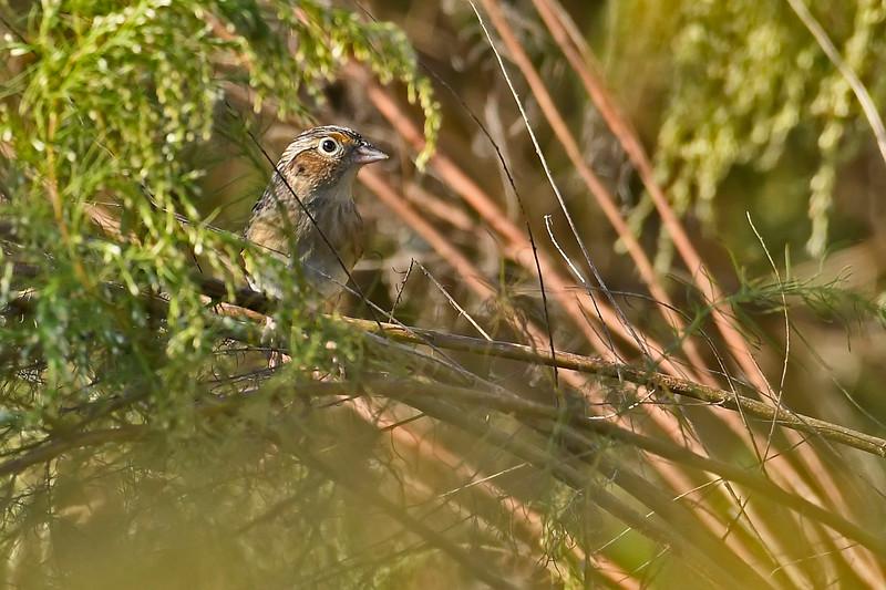 GrasshopperSparrow-LAWD-11-23-18-SJS-18