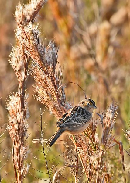 GrasshopperSparrow-LAWD-11-23-18-SJS-05