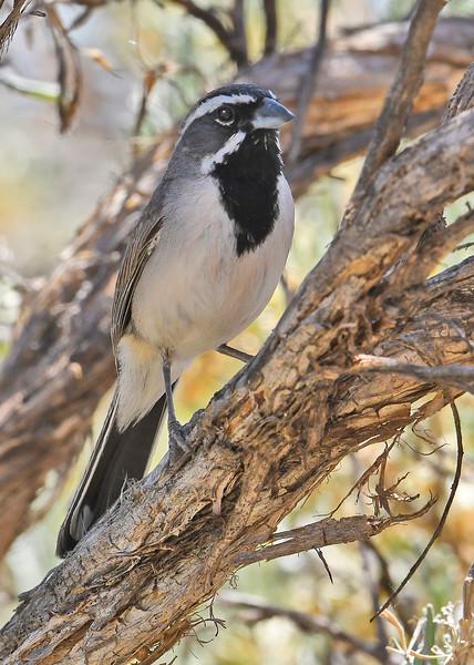 Black-ThroatedSparrow-Utah-6-24-18-SJS-005
