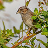 SwampSparrow-EmeraldaMarsh-11-7-19-SJS-002