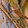 HouseWren-PineMeadows-1-2-2020-SJS-001
