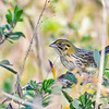 HenslowsSparrow-PineMeadows-12_4_19-SJS-002