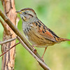 SwampSparrow-EmeraldaMarsh-1-29-20-SJS-004