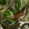 HouseWren-EmeraldaMarsh-10-11-19-SJS-002