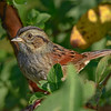 SwampSparrow-EmeraldaMarsh-10-30-19-SJS-010