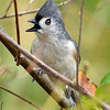 TuftedTitmouse-EmeraldaMarsh-1-29-20-SJS-006