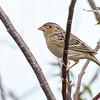 GrasshopperSparrow-OaklandNP-12-4-20-sjs-010