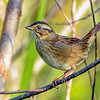SwampSparrow-EmeraldaMarsh-10-30-19-SJS-012