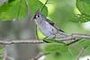 Tufted-titmouse-NestingHole-WCP-5-23-17-SJS-010