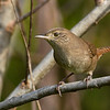 HouseWren-EmeraldaMarsh 10-22-19-SJS-002
