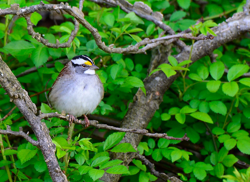 White-ThroatedSparrow-sjs-2015-001