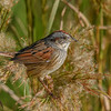 SwampSparrow-EmeraldaMarsh-11-13-19-SJS-002