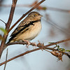 GrasshopperSparrow-EmeraldaMarsh-12-31-19-SJS-002
