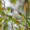 TuftedTitmouse-PineMeadows-11-15-19-SJS-002
