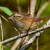 SwampSparrow-EmeraldaMarsh-10-30-19-SJS-007