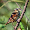 SwampSparrow-EmeraldaMarsh-11-7-19-SJS-006