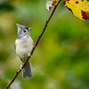 TuftedTitmouse-EmeraldaMarsh-10-4-20-sjs-03