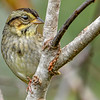 SwampSparrow-EmeraldaMarsh-10-30-19-SJS-006