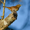 HouseWren-EmeraldaMarsh-10-30-20-sjs-01