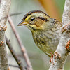 SwampSparrow-EmeraldaMarsh-10-30-19-SJS-005