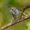 SwampSparrow-EmeraldaMarsh-4-8-20-SJS-001