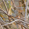 SavannahSparrow-ClayIslandFL1-19-18-SJS-001