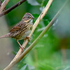 LincolnsSparrow-PineMeadows-1-3-2020-SJS-009