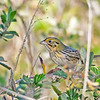HenslowsSparrow-PineMeadows-12_4_19-SJS-003