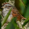 SwampSparrow-EmeraldaMarsh-11-13-19-SJS-001