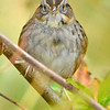 SwampSparrow-EmeraldaMarsh-1-29-20-SJS-003