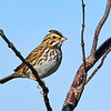 SavannahSparrow-EmeraldaMarsh-12-3-20-sjs-001