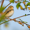 GrasshopperSparrow-EmeraldaMarsh-12-31-19-SJS-004