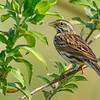 SavannahSparrow-EmeraldaMarsh-3-13-20-SJS-001
