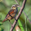 SwampSparrow-EmeraldaMarsh-11-7-19-SJS-005