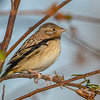 GrasshopperSparrow-EmeraldaMarsh-12-31-19-SJS-001