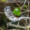 TuftedTitmouse-EmeraldaMarsh-4-25-20-SJS-001
