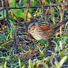 SwampSparrow-PineMeadowsCA-2-6-19-SJS-002