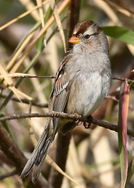 White-CrownedSparrow-LAWD-1-9-19-SJS-007