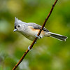 TuftedTitmouse-EmeraldaMarsh-10-4-20-sjs-02