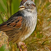 SwampSparrow-EmeraldaMarsh-11-13-19-SJS-003