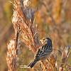 GrasshopperSparrow-LAWD-11-23-18-SJS-01
