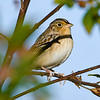 GrasshopperSparrow-EmeraldaMarsh-12-31-19-SJS-003